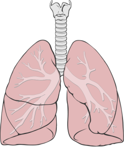 Lung